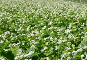cornell_buckwheat_field2