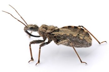 assassin_bug_aug08_02