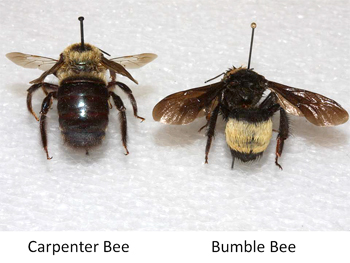 carpenter-bee-comparison