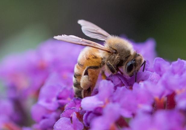 honeybee on buddleia