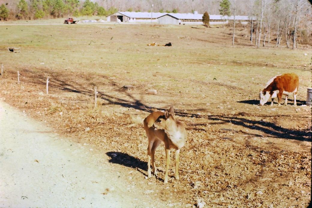 Gus the Deer June 1981